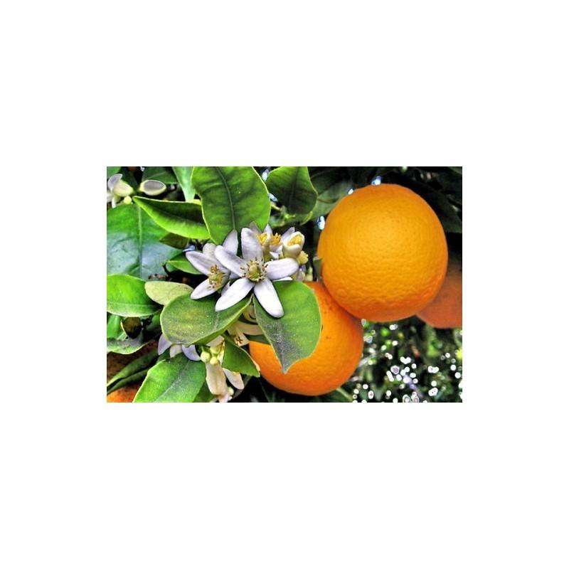 Arance - Qualità Vaniglia