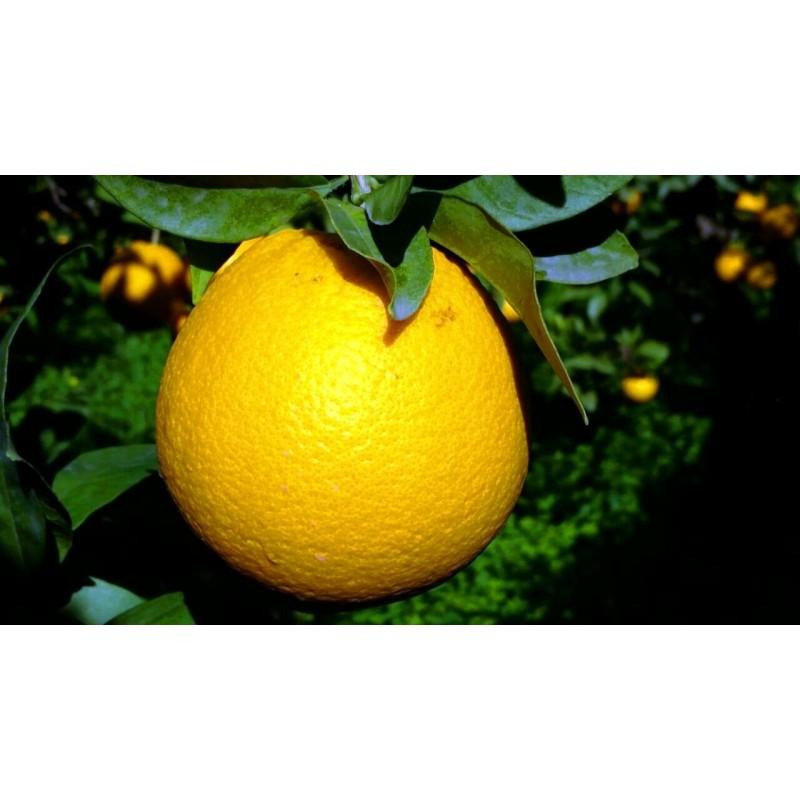Arance Washington Navel - Qualità Fiorone 10 kg