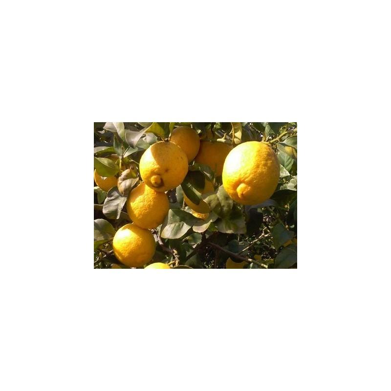 Limoni - Agrumi di Sicilia