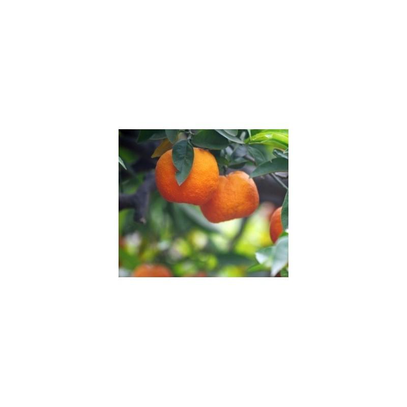 Mandarini - Agrumi di Sicilia