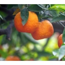 Clementine senza semi - Agrumi di Ribera